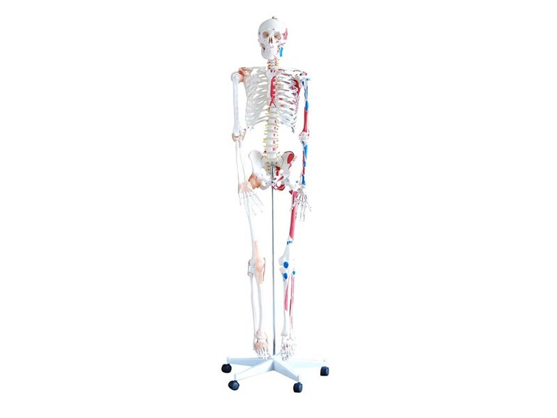 Modelo Esqueleto Humano con Ligamentos