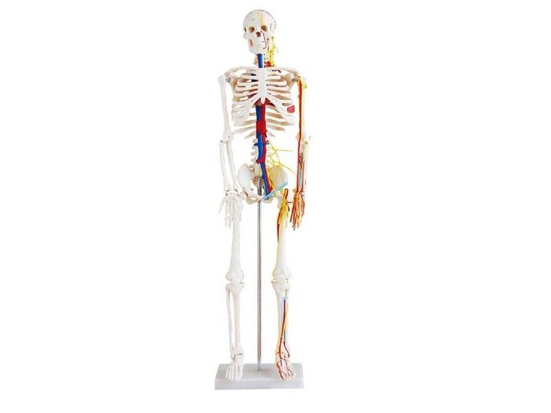 Modelo Esqueleto Sistema Circulatorio de 85 cm