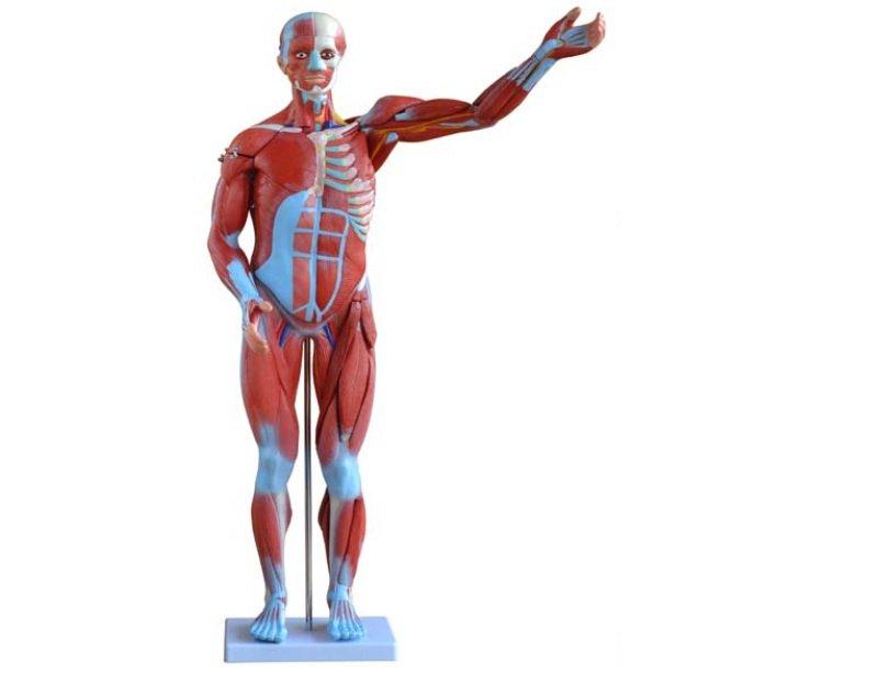 Modelo Torso Muscular