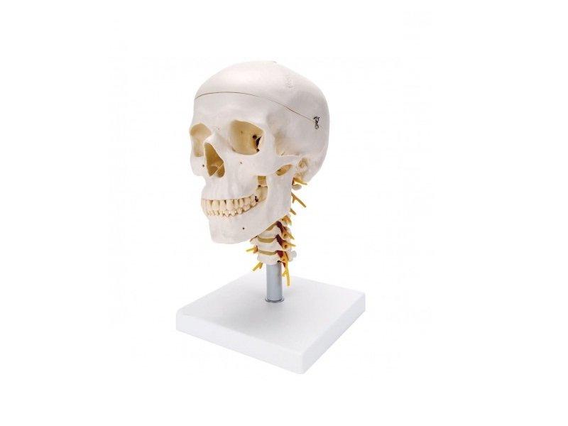 Modelos Anatómicos