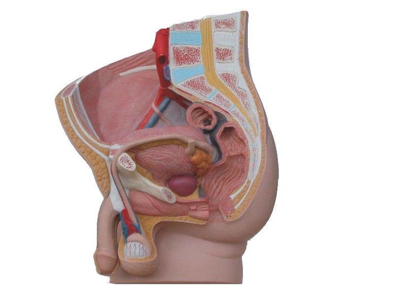 Modelo de Pelvis Humano Masculino
