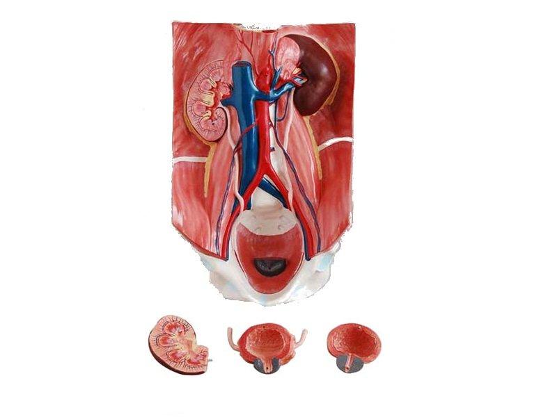 Modelo del Sistema Urinario