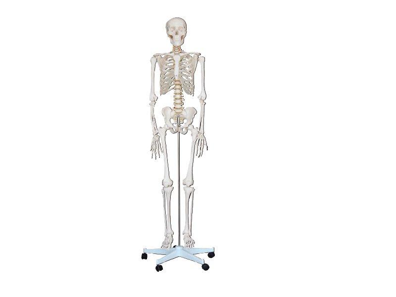 Modelo Esqueleto Humano 180 cm