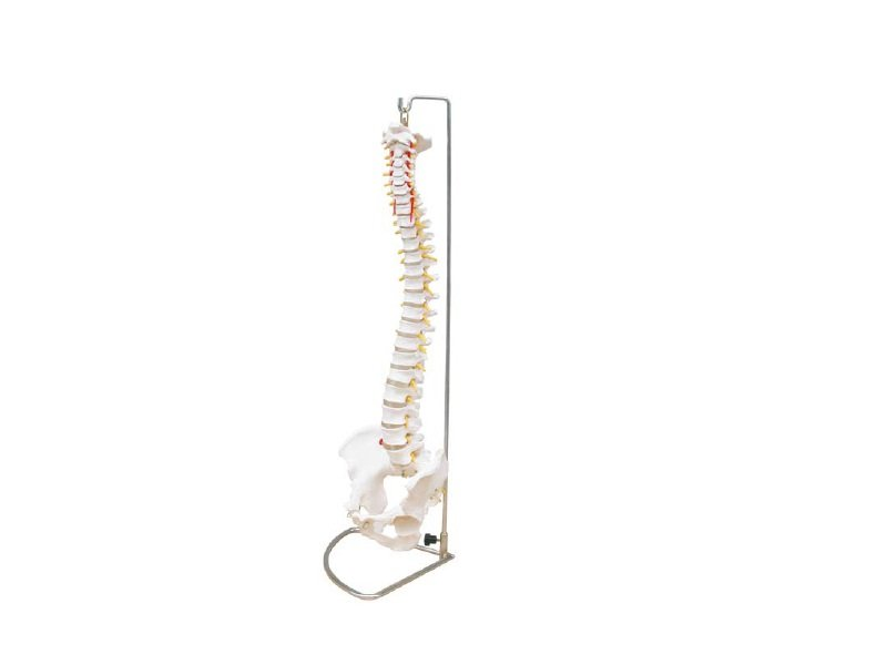 Modelo de Columna Vertebral Flexible