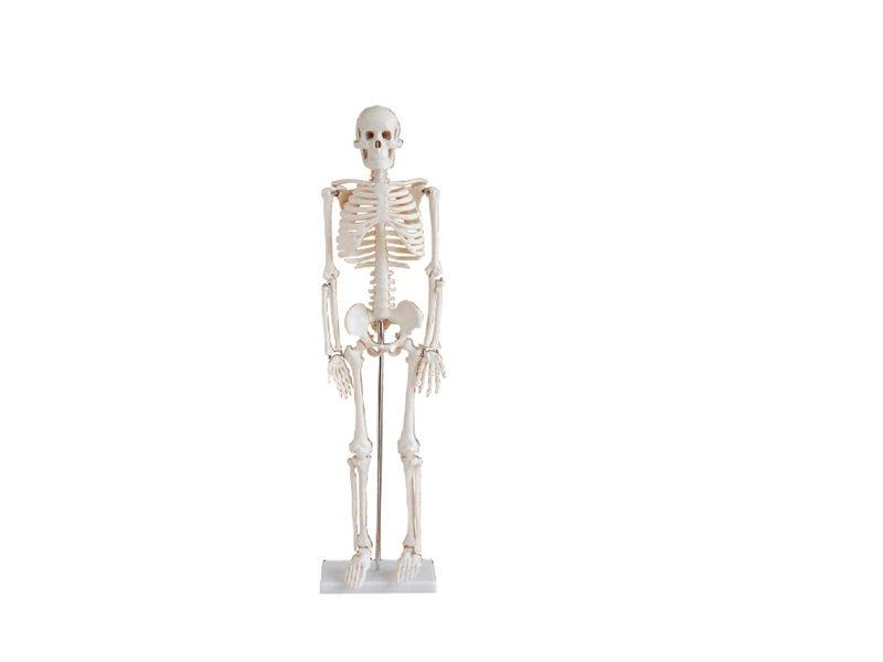 Modelo de Esqueleto Humano 85 cm