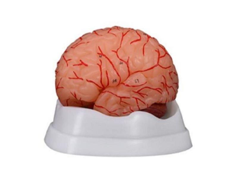 Modelo de Cerebro Humano en 9 Partes