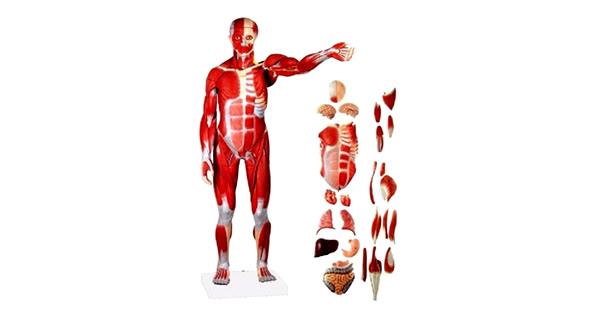 Modelos Anatómicos - SIMELA